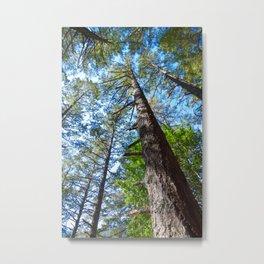 Towering Redwood Trees Metal Print