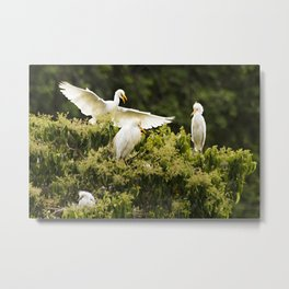 Heron landing on a tree with nests Metal Print