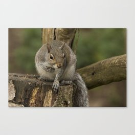 Woodland wildlife grey squirrel Canvas Print