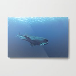 Hangers-on (2 remoras) on a whale shark Metal Print