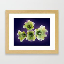 "Cornus - ""Cloud Nine "" (Dogwood) Framed Art Print"