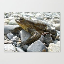 Bufo Bufo Toad Lounging On Stones Canvas Print