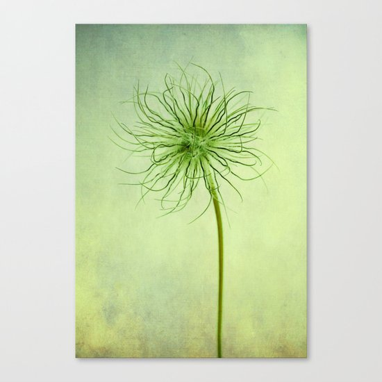 pulsatilla seed head Canvas Print