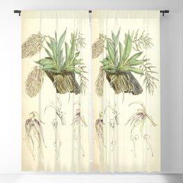 Macroclinium bicolor (as Notylia bicolor) Curtis' 92 (Ser. 3 no. 22) pl. 5609 (1866) Blackout Curtain