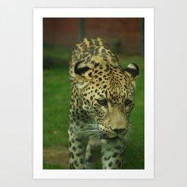 Pretty leopard  Art Print