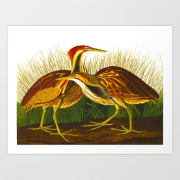 American Bittern Audubon Birds Vintage Scientific Hand Drawn Illustration Art Print
