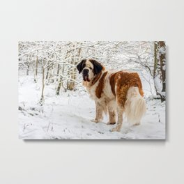St Bernard dog in the snow Metal Print