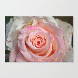 pink summer rose macro Canvas Print