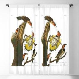 Gold Winged Woodpecker, Woodpecker, John Audubon Birds of North America Antique Print, No 8, Plate 37 Blackout Curtain
