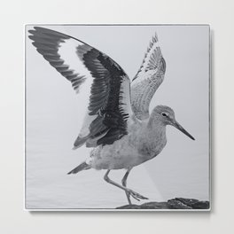 Willet Wings Metal Print