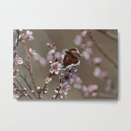 Mourning Cloak on Apricot Tree Metal Print