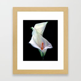 The Calla Lilies Are in Bloom Again... Framed Art Print