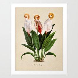 Anthurium scherzerianum old plate Art Print