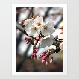 Japanese Cherry Blossoms Art Print