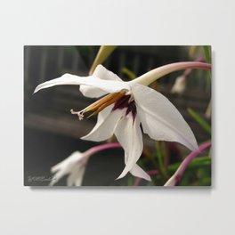 Peacock Gladiolus Metal Print