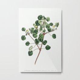 Euphorbia Petiolaris (Manchineel berry) (1805) Image from The Botanical Magazine or Flower Garden Di Metal Print