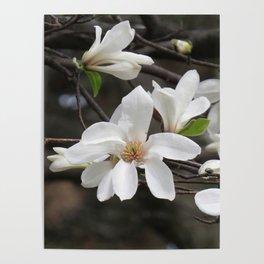 magnolia 04 Poster