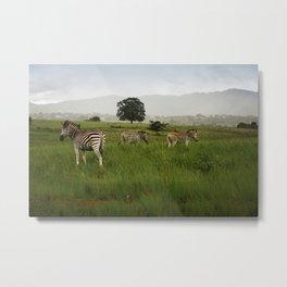 Swaziland Three Zebras Metal Print