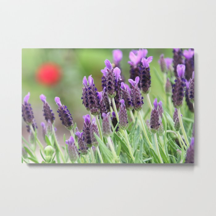 Lavender in a dialog with a rose Metal Print