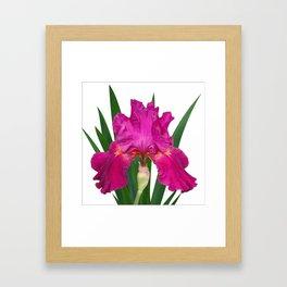 Iris 'Picante' Framed Art Print