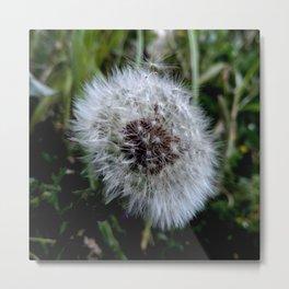 Dandelion 3 - Metal Print