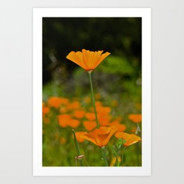 Tall Poppy Art Print
