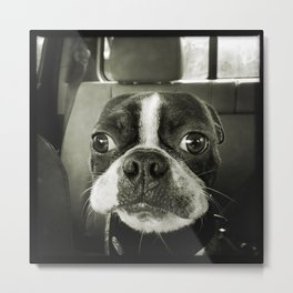 Big Eyed Boston Terrier Metal Print