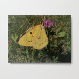 Sulphur Butterfly on Red Clover Metal Print