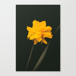 Elegant gold on black old-master botancial print style:  Double Daffodil photograph Canvas Print