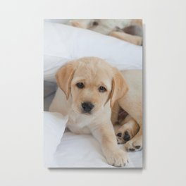 Yellow Labrador Puppy Resting on Bed Metal Print
