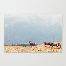 Rams, Landscape Canvas Print