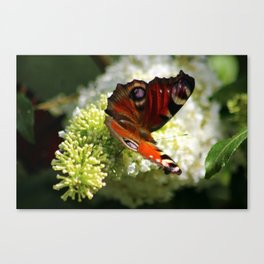 Peacock Butterfly on White Buddleja Canvas Print