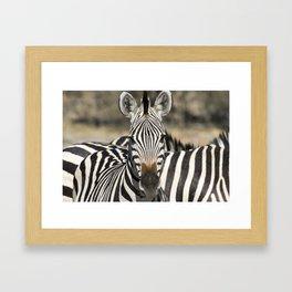 Curious Burchell's Zebra Framed Art Print