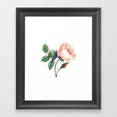 Illustration with watercolor rose Framed Art Print