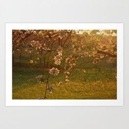 Golden Light over Apple Blossoms Art Print