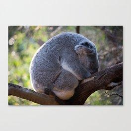 Sleeping Australian Koala, Curlewis, NSW Canvas Print