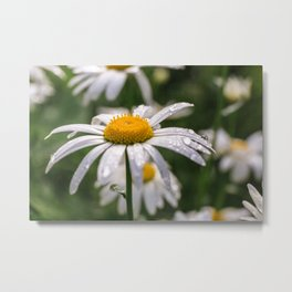 White daisy with rainy droplets Metal Print
