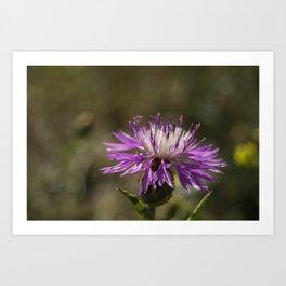 Centaurea alba Art Print