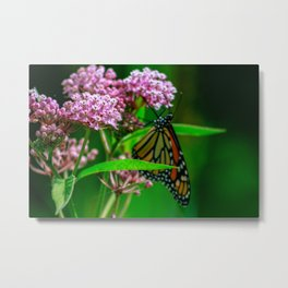 monarch butterfly close up on pink milkweed Metal Print