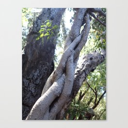 Twisted ficus forest Canvas Print