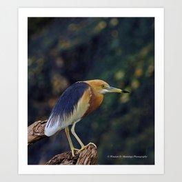 Javan Pond Heron Art Print