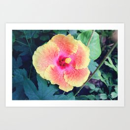 Pink and Yellow Hibiscus Tropical Flower Art Print