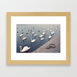 Swans, Prague. Framed Art Print