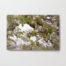 Apple Orchard Blooms by Reay of Light Metal Print