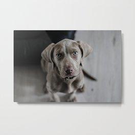 Weimaraner Puppy Looking Up Metal Print