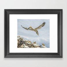 Gannets at Bass Rock Framed Art Print