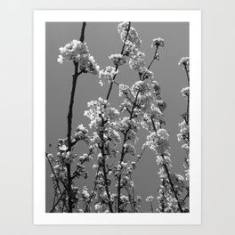 Tree Blossoms in Black and White Art Print