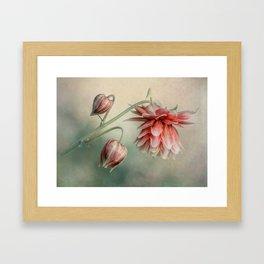 Delicate red columbine flower Framed Art Print