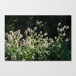 Teasels In The Wind Canvas Print