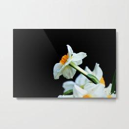 Daffodils3 Metal Print